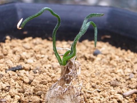 20121027_Albuca osmynella syn. Ornithogalum osmynellum