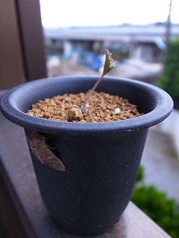 20121111_Pelargonium leipoldtii_2