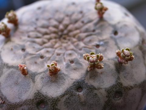 20121125_Euphorbia turbiniformis