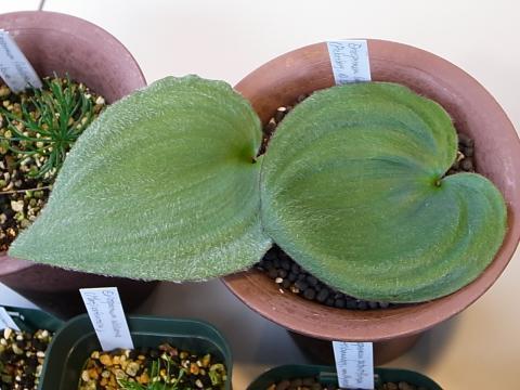 20130107_Eriospermum lanuginosum