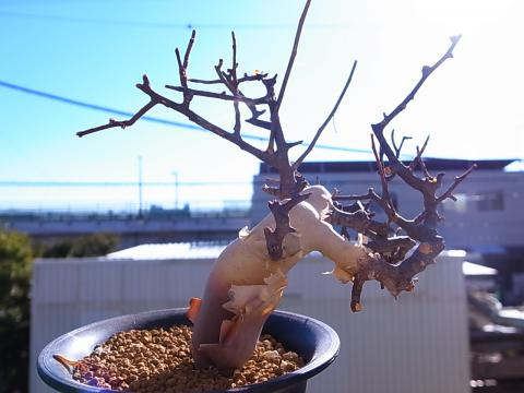 20130202_Commiphora kataf_2