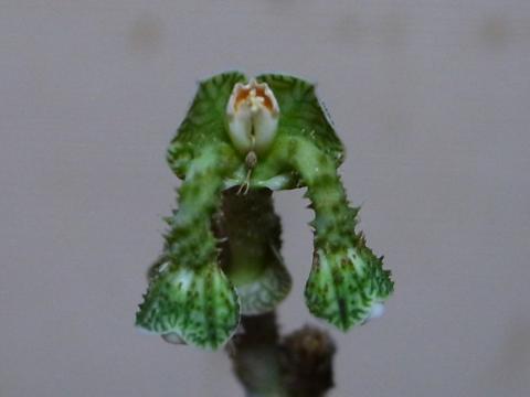 20130203_Monadenium echinulatum