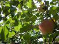 自社園地りんご1