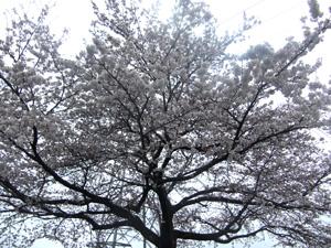 世嬉の一の裏庭の桜