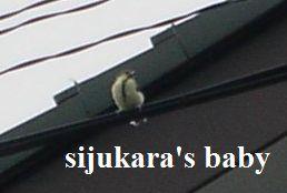 シジュウカラの赤ちゃん