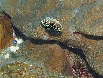 ノドクロべラ幼魚