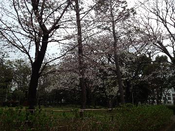 有栖川宮公園の桜