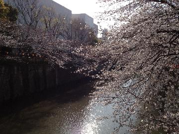 目黒川の桜3月23日(1)