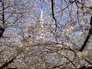 目黒川の桜3月23日3(1)