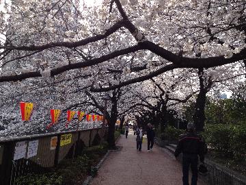 目黒川の桜3月23日06(1)