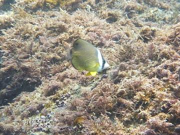 チョウチョウウオ幼魚