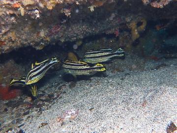 コロダイの幼魚群れ