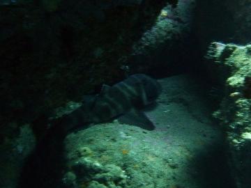 ネコザメ1
