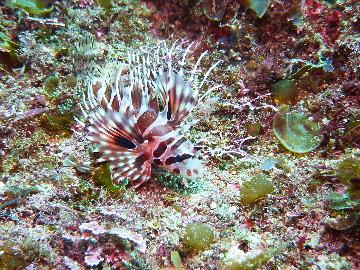 キリンミノカサゴ幼魚