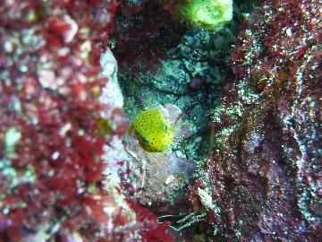 ミナミハコフグの幼魚2・1