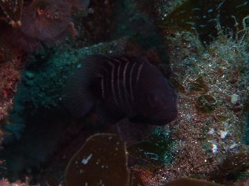 2月22日マ旗の幼魚