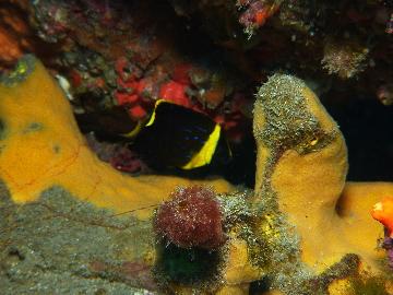 キンチャクダイの幼魚2月21日