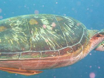 ボホールの海カメ