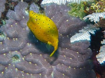 ミナミハコフグ成魚