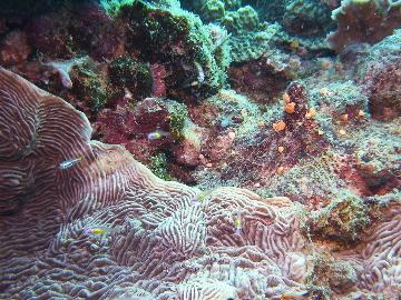クロユリハゼの幼魚
