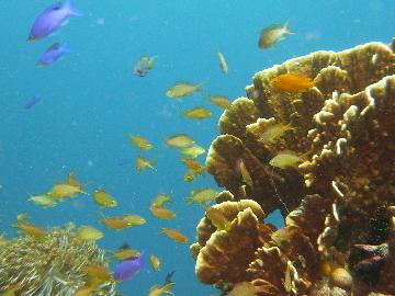 サンゴとメラネシアンアンティス