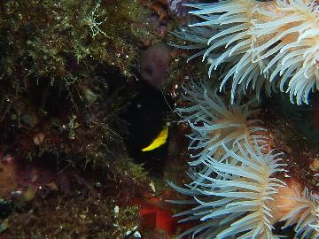 キンチャクダイの幼魚4・26