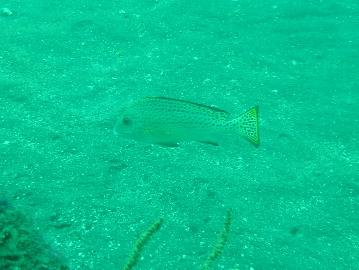 コロダイの若魚 5月11日