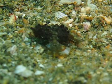 ウミテング幼魚