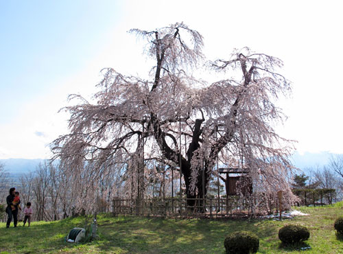 泉小太郎の枝垂れ桜