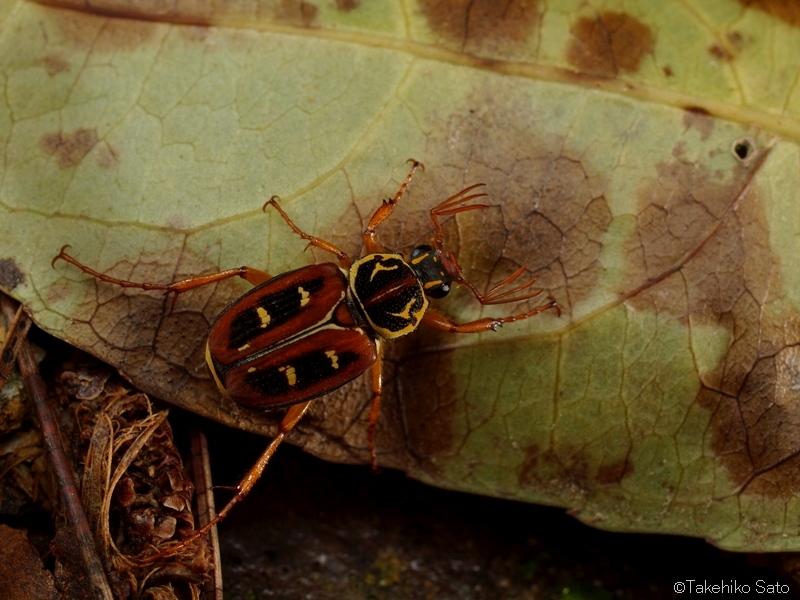 オオシマオオトラフハナムグリ Paratrichius duplicatus okinawanus
