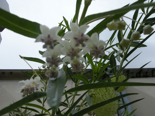 フウセントウワタ花
