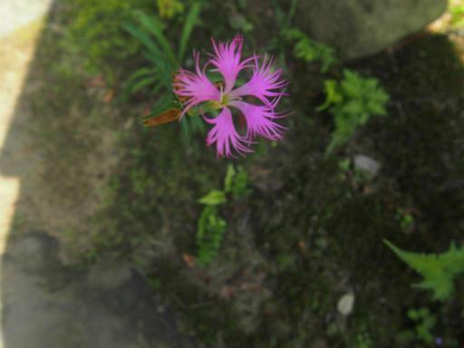 20140913・植物・ナデシコ