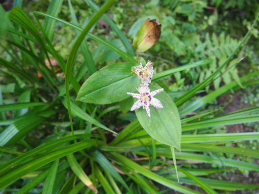 20140913・植物・ホトトギス