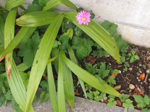 20141009・高崎植物4・キク