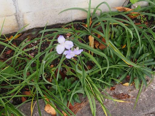 20141009・高崎植物3・オオムラサキツユクサ