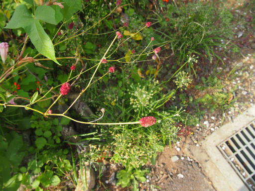 20141012・植物06・ワレモコウ