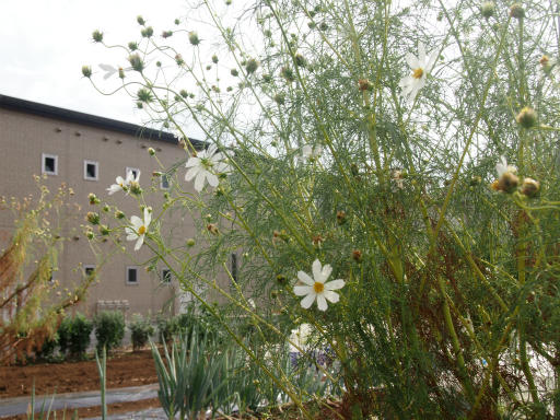 20141012・植物04・コスモス1