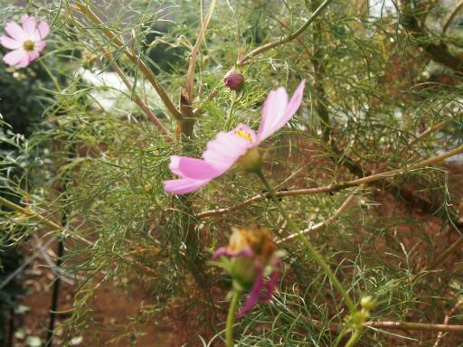 20141012・植物05・コスモス2