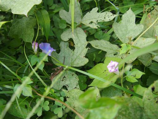 20141012・植物12・アメリカアサガオ