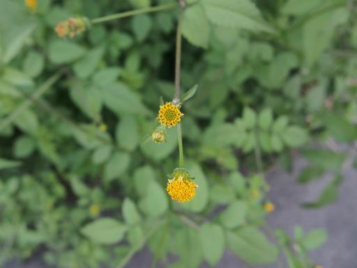 20141012・植物08・コセンダングサ