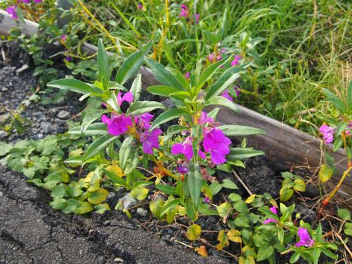 20141012・植物09・ホウセンカ