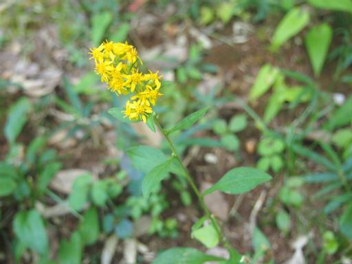 20141012・植物15・アキノキリンソウ