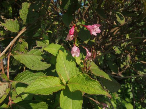 20141025・小手指植物4・ハコネウツギ
