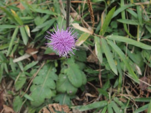 20141102・飯能植物06・ノハラアザミ