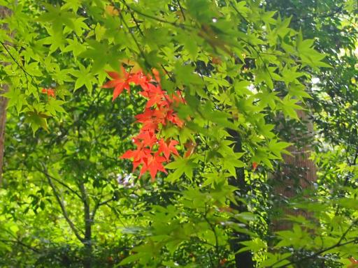 20141102・飯能植物03・カエデ