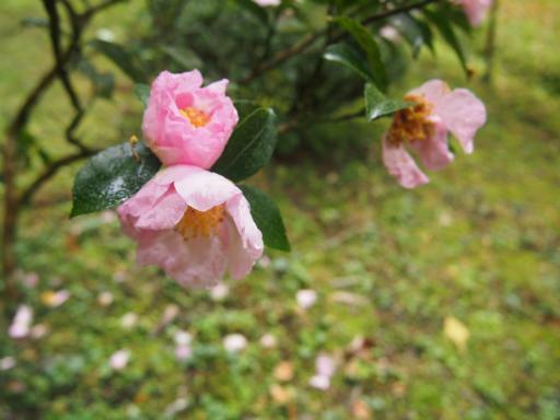 20141102・飯能植物02・サザンカ