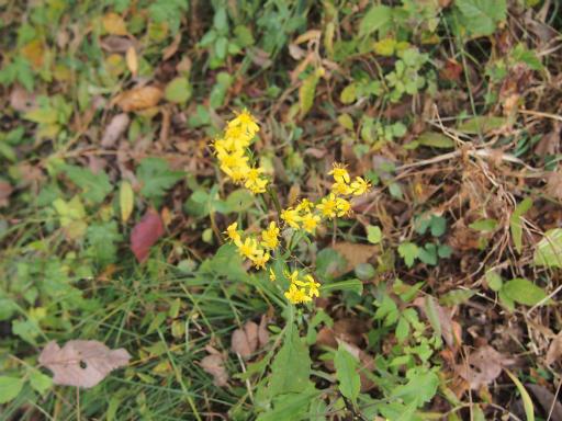 20141102・飯能植物07・アキノキリンソウ