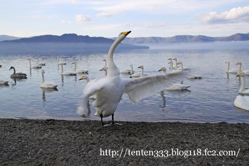 白鳥-5_e
