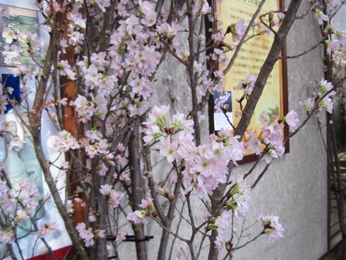 啓翁桜-5