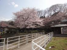 かわせみの桜